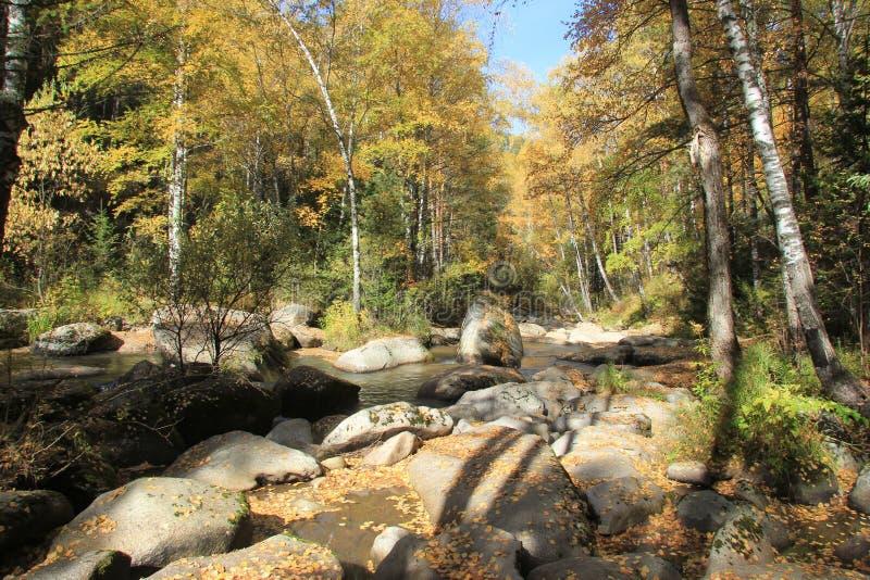 金黄秋天在阿尔泰地区在俄罗斯 美好的风景-路在秋天森林里 库存图片