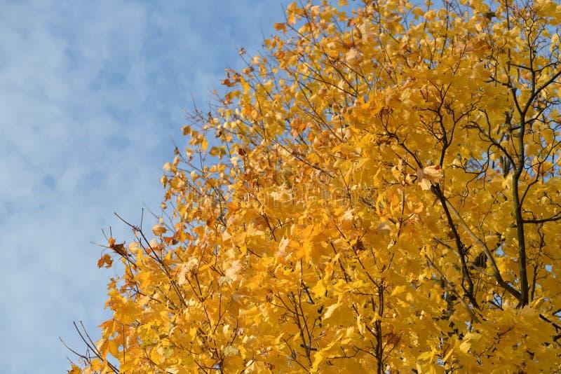 金黄秋天槭树冠 图库摄影