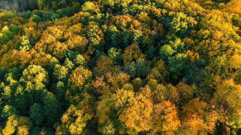 金黄秋天背景,美好的森林风景空中寄生虫视图与黄色树的从上面 库存照片