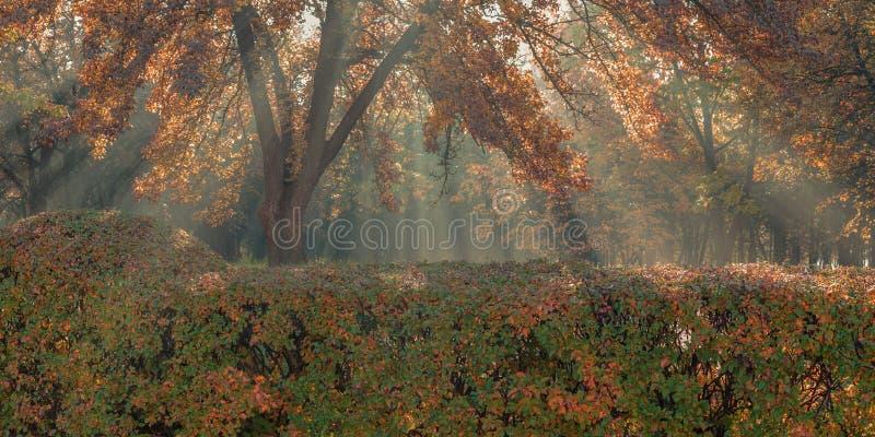 金黄秋天 自然太阳光芒通过叶子做他们的方式在城市公园 库存图片