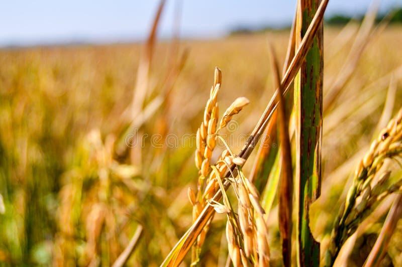 金黄稻特写镜头在农田的 库存照片