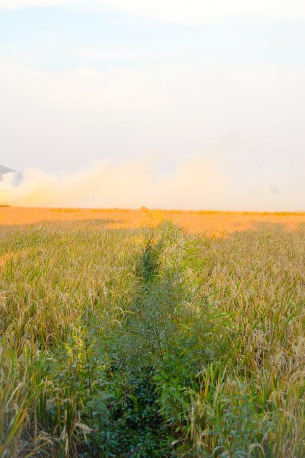 金黄稻田美丽的景色  库存照片
