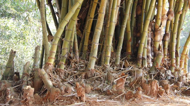 金黄竹子丛和根  图库摄影