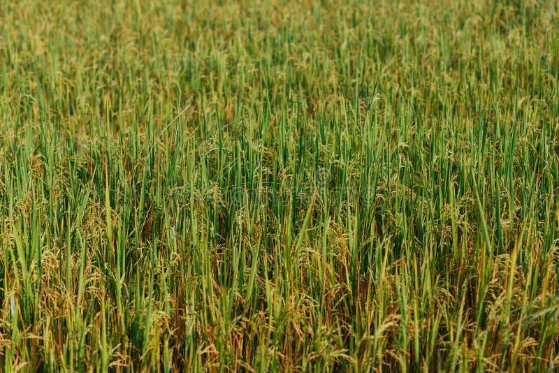 金黄米领域在斯里兰卡 绿色墙纸 库存照片