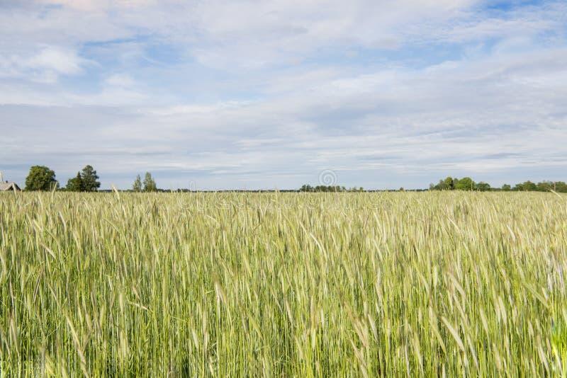金黄绿的黑麦领域在晴朗的夏日 免版税库存照片