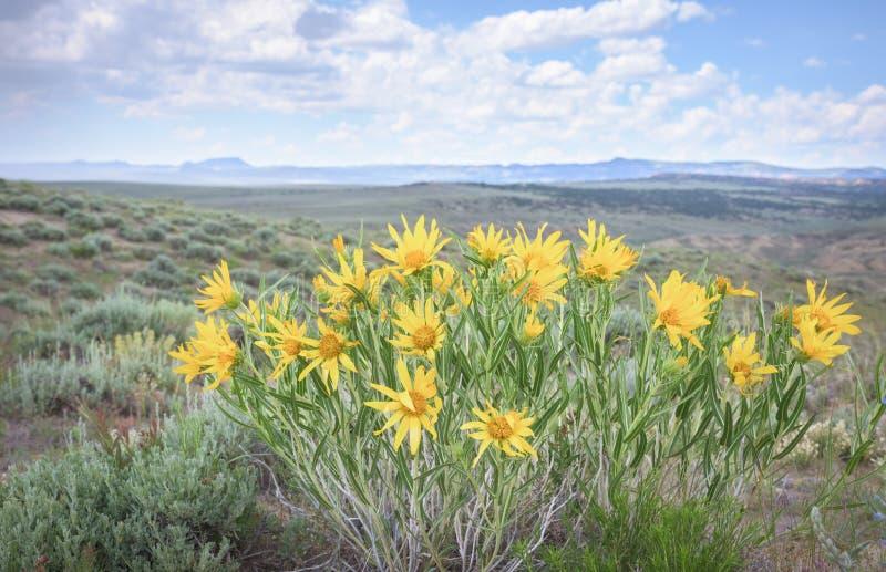 金黄翠菊Heterotheca villosa黄色野花在科罗拉多高沙漠 免版税库存图片