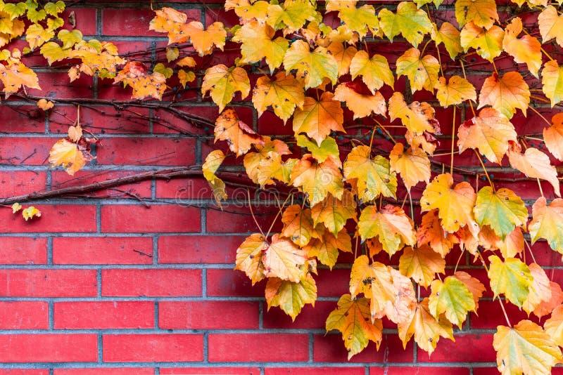 金黄色的叶子和藤在一个砖墙上在秋天期间 免版税库存图片