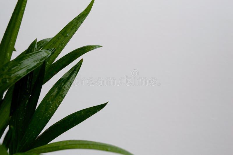 金黄藤茎棕榈特写镜头  图库摄影