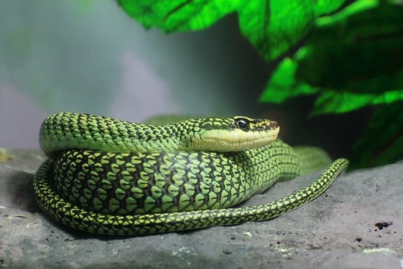 金黄蛇结构树 免版税图库摄影