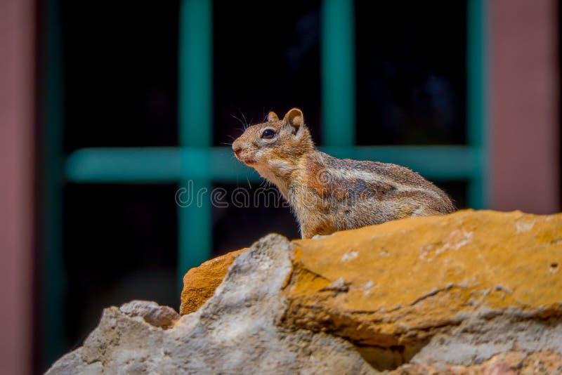 金黄被覆盖的地松鼠在布莱斯峡谷国家公园,犹他 库存照片