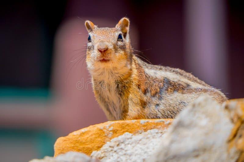 金黄被覆盖的地松鼠在布莱斯峡谷国家公园,犹他 免版税库存图片