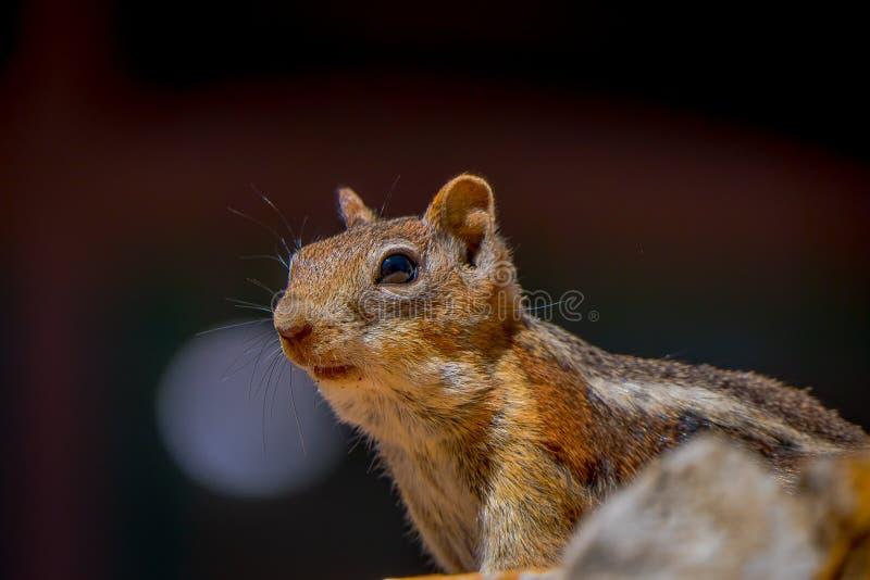 金黄被覆盖的地松鼠被看见在位于犹他的布莱斯峡谷国家公园  免版税库存照片
