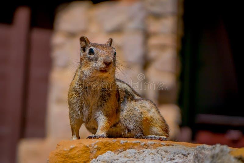 金黄被覆盖的地松鼠被看见在位于犹他的布莱斯峡谷国家公园  免版税图库摄影