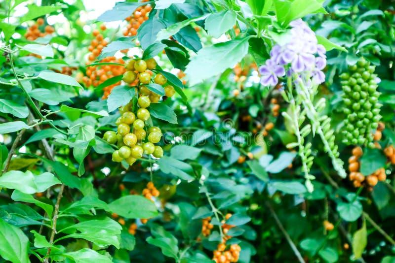 金黄露滴,鸽子莓果,天空花, Duranta erecta, 免版税库存图片