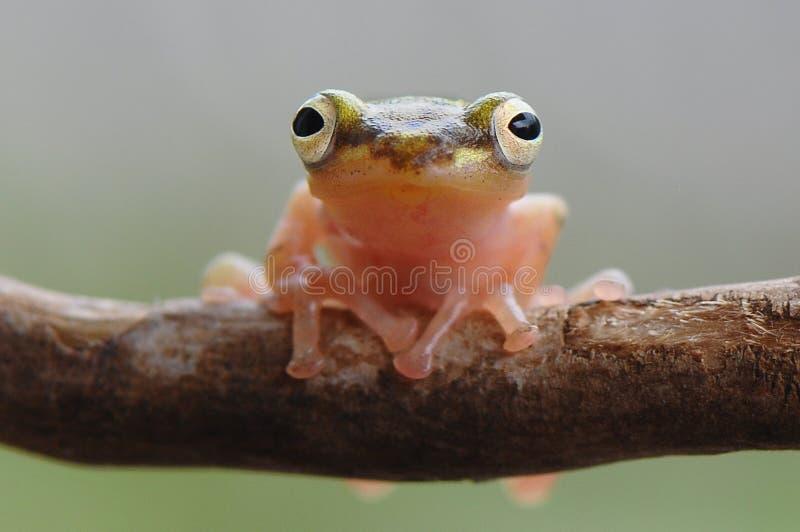 金黄青蛙面孔 库存图片