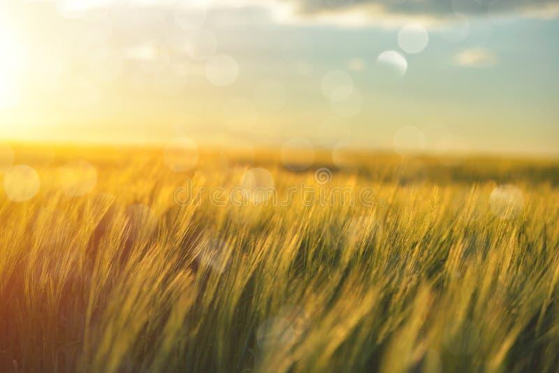 金黄麦子关闭在太阳 在阳光下的农村场面 o 成长收获 免版税库存图片