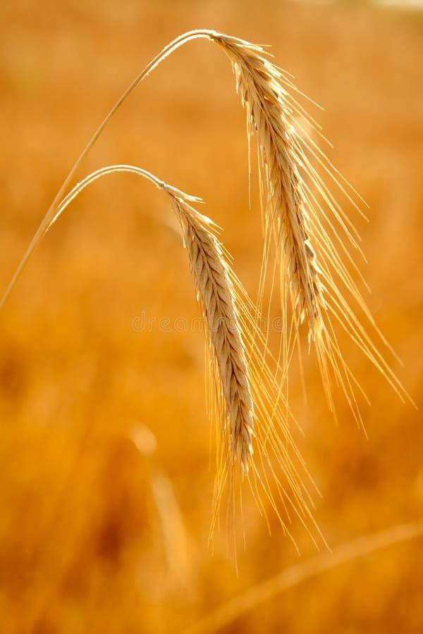 金黄麦子成熟谷物二个峰值  库存照片