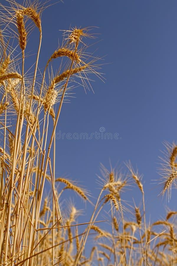 金黄麦子现出轮廓反对蓝天 免版税图库摄影