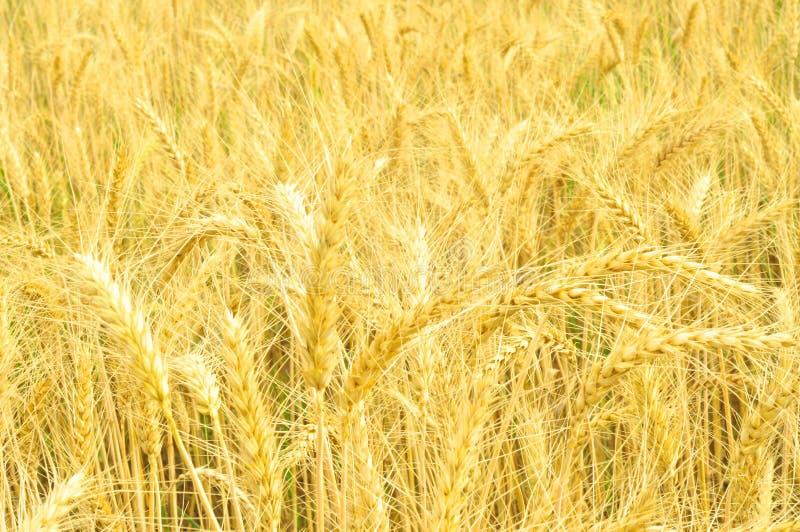 金黄麦田和热的夏天好日子 库存图片