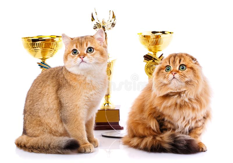 金黄鼠 画象光滑头发平直苏格兰和苏格兰人折叠在白色背景的猫 图库摄影