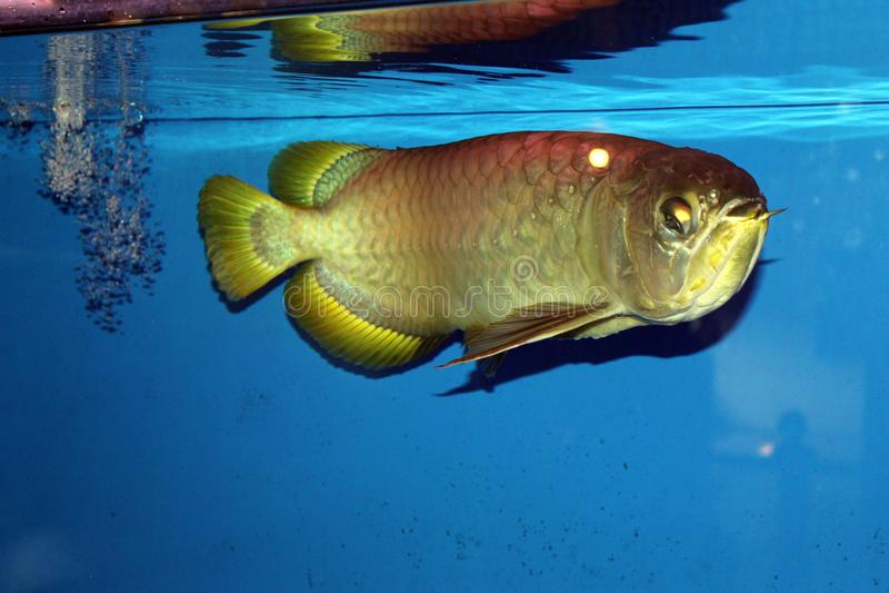 金黄arowana的鱼 库存照片