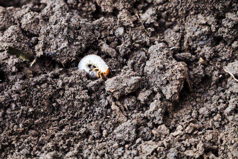 金龟子白色幼虫  库存照片