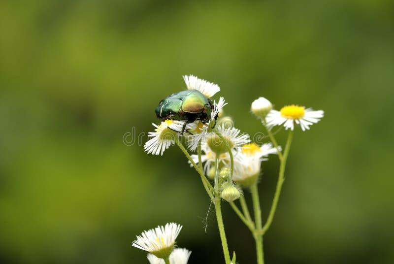 金龟子绿色上升了 (Cetonia aurata) 库存照片