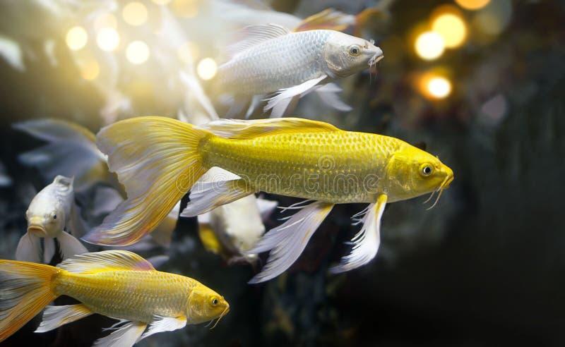 金黄和银色颜色钓鱼在一个水下的洞的小组 免版税库存照片