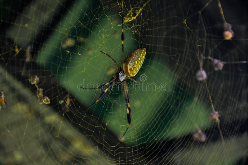 金黄天体蜘蛛在Corcovado国家公园,哥斯达黎加 免版税图库摄影
