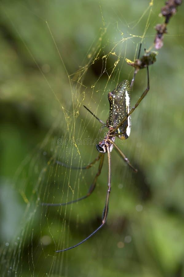 金黄天体织布工蜘蛛的男性和女性 库存照片