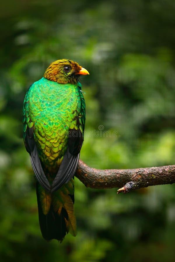 金黄带头的格查尔, Pharomachrus auriceps,厄瓜多尔 在森林野生生物亚马逊的热带异乎寻常的鸟 库存照片
