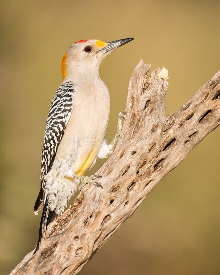 金黄朝向的啄木鸟 图库摄影