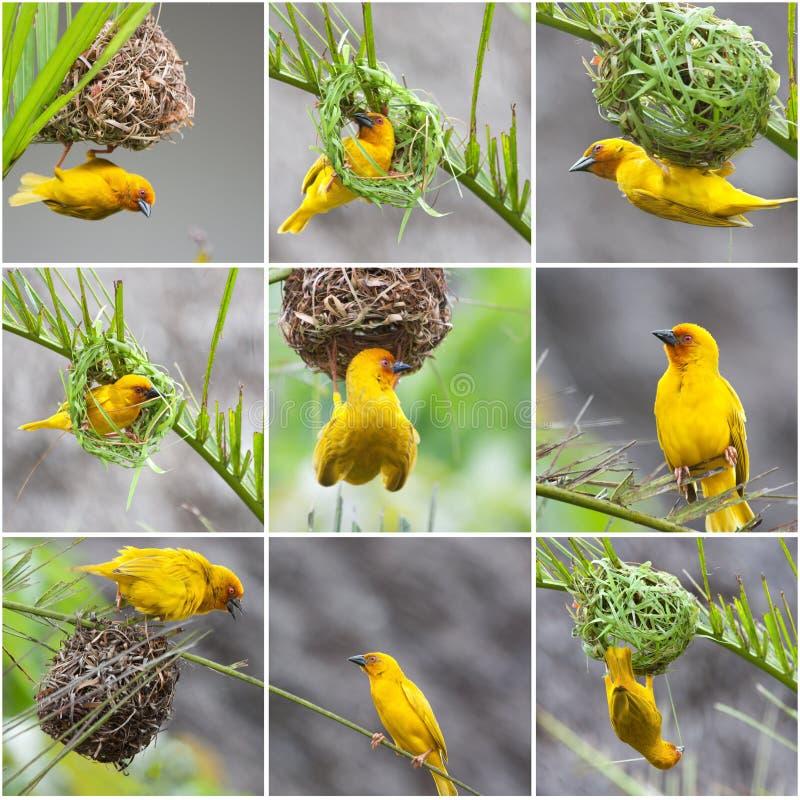 金黄棕榈织布工鸟 免版税库存照片