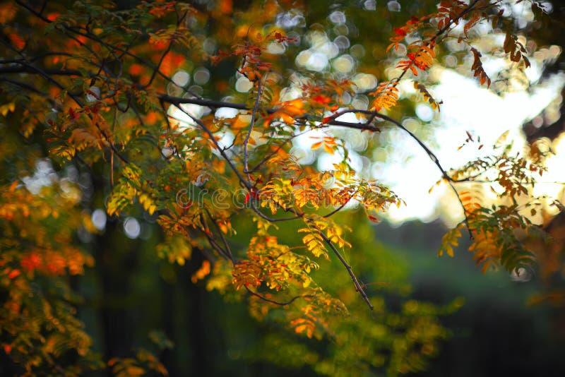 金黄欧洲花楸叶子在阳光下 库存照片