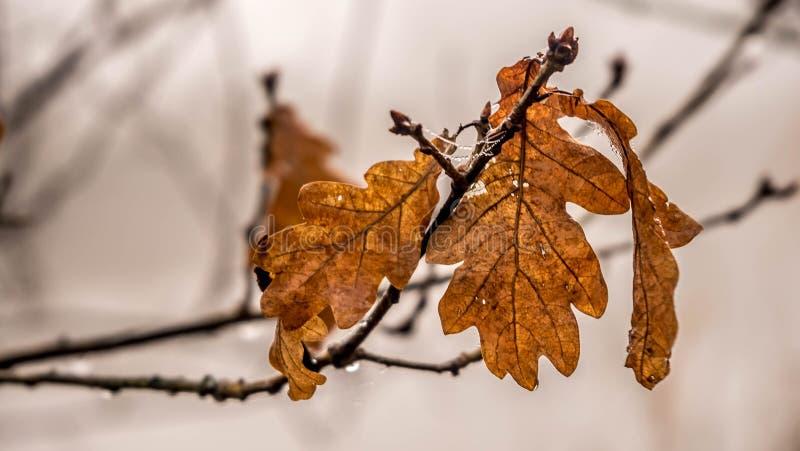 金黄死的橡木叶子 库存图片