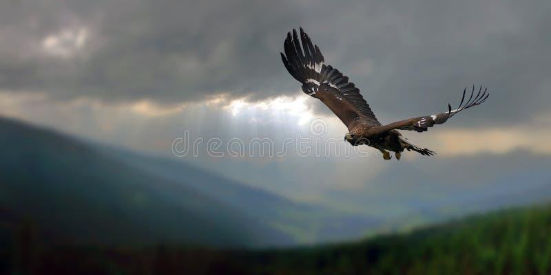 金黄的老鹰 库存图片
