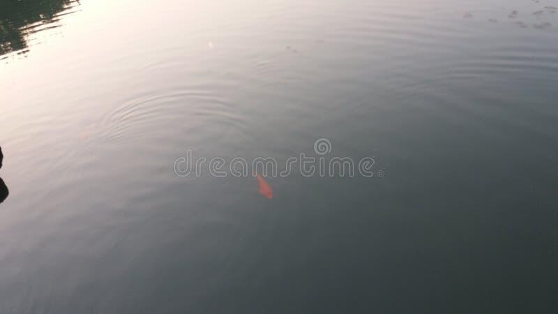 金黄的鱼 免版税库存图片