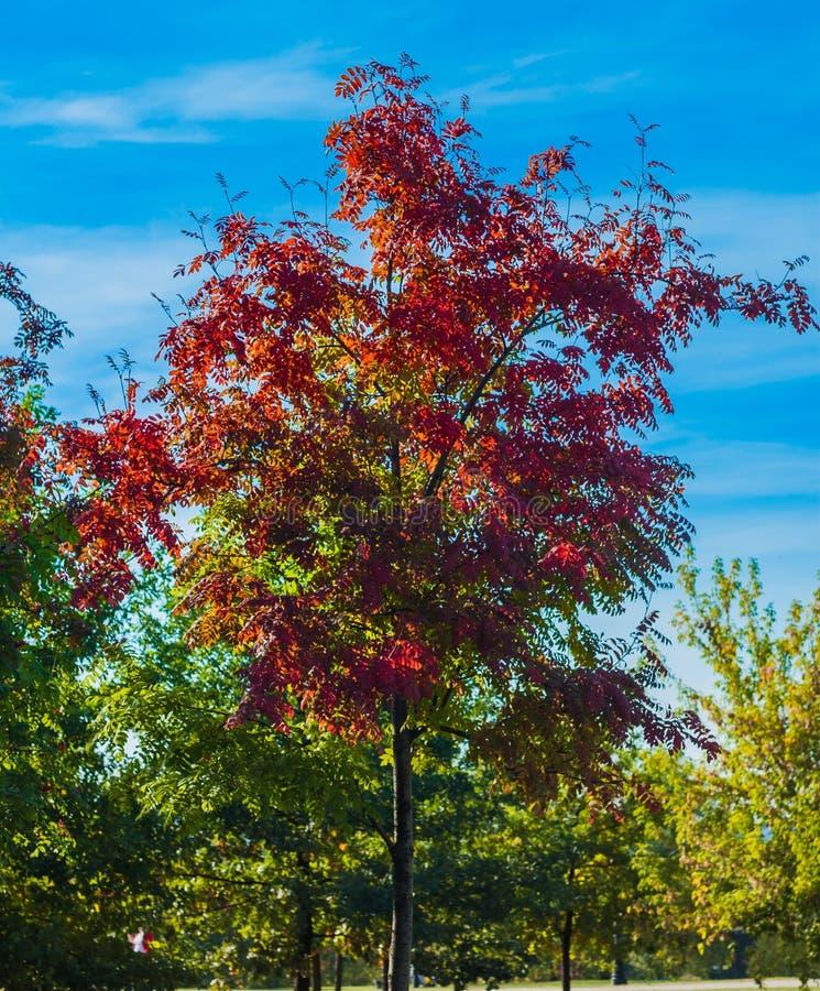 金黄秋天狂放的花揪分支 在蓝天背景的红色秋季叶子 图库摄影