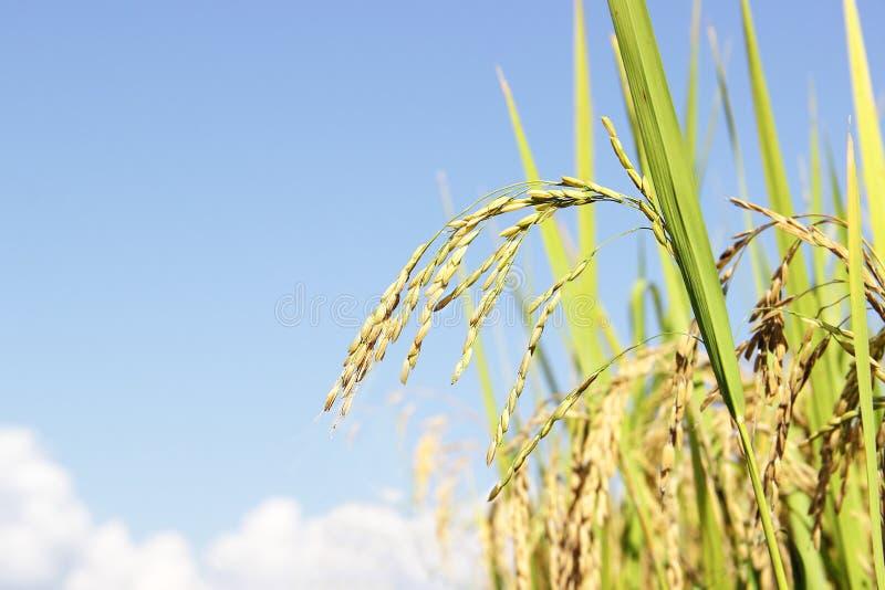 金黄米在领域米背景中 图库摄影