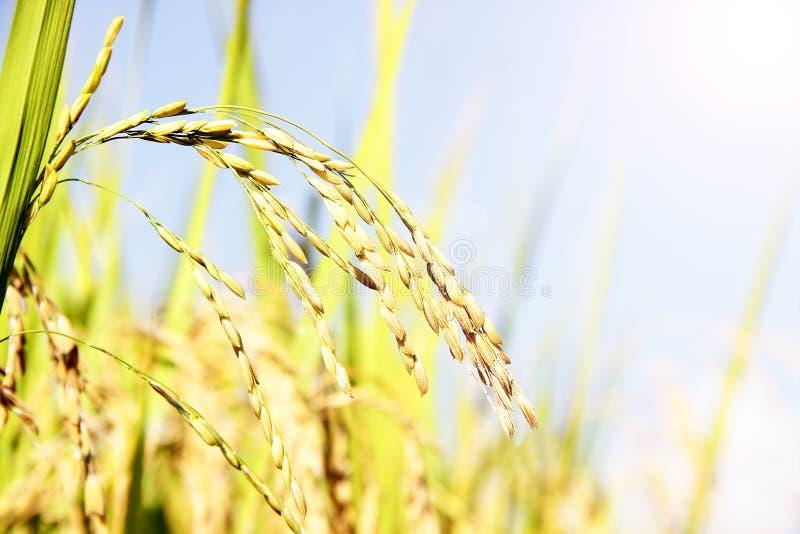 金黄米在领域米背景中 库存照片