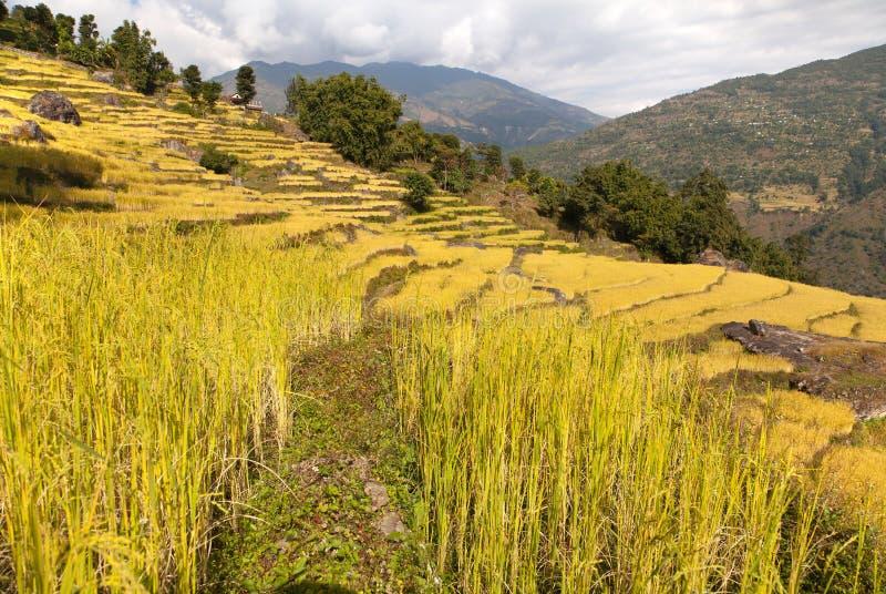 金黄米领域在尼泊尔 库存照片