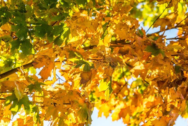 金黄黄色秋天秋天叶子 图库摄影