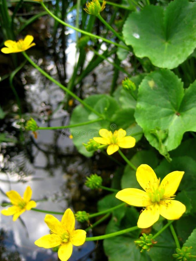 金黄花Cà ¡ ltha palústris家庭毛莨科宏观照片在阳光火花的在池塘的背景的 免版税库存照片