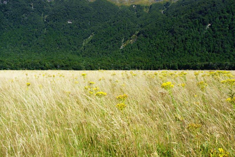 金黄草散置与摇摆在谷微风的黄色狗舌草花与深绿新西兰灌木形成对比 库存照片