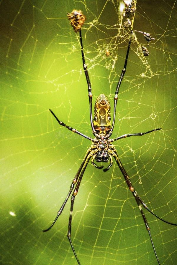 金黄蜘蛛 库存图片