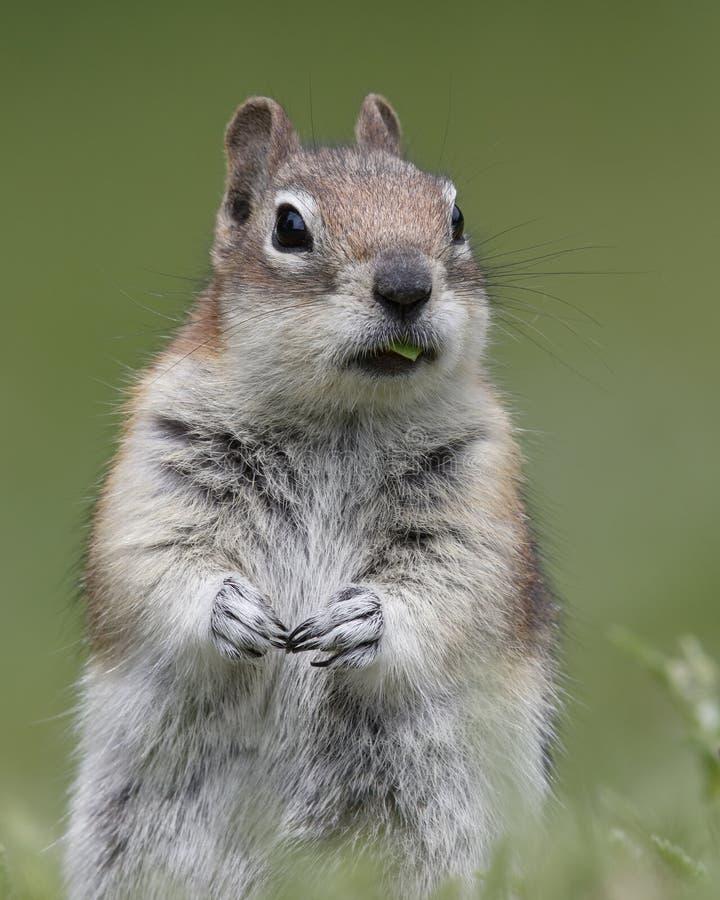 金黄被覆盖的地松鼠-贾斯珀国家公园,加拿大 免版税库存照片