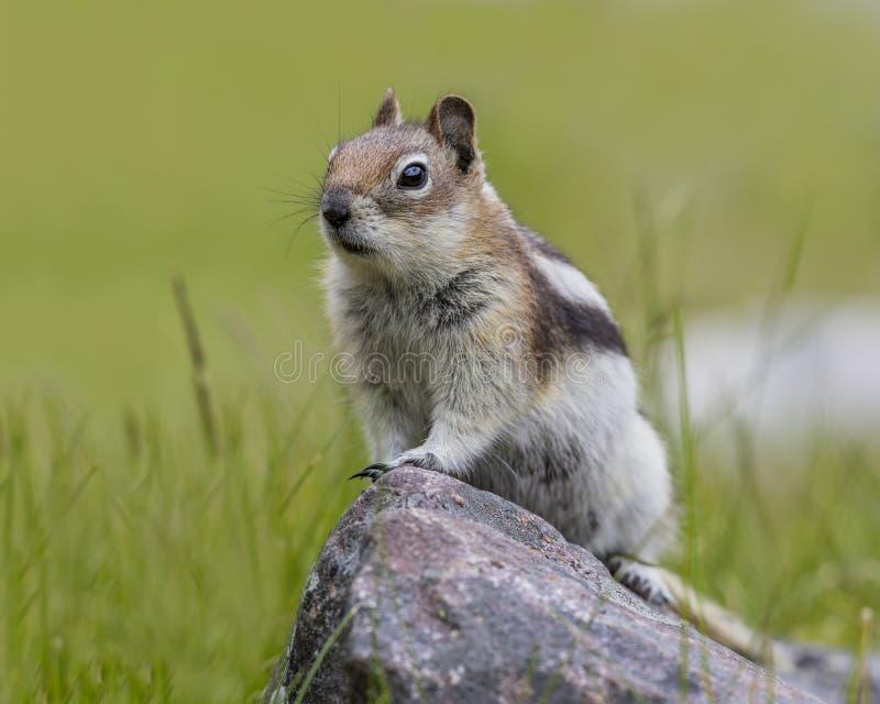 金黄被覆盖的地松鼠-贾斯珀国家公园 免版税库存图片