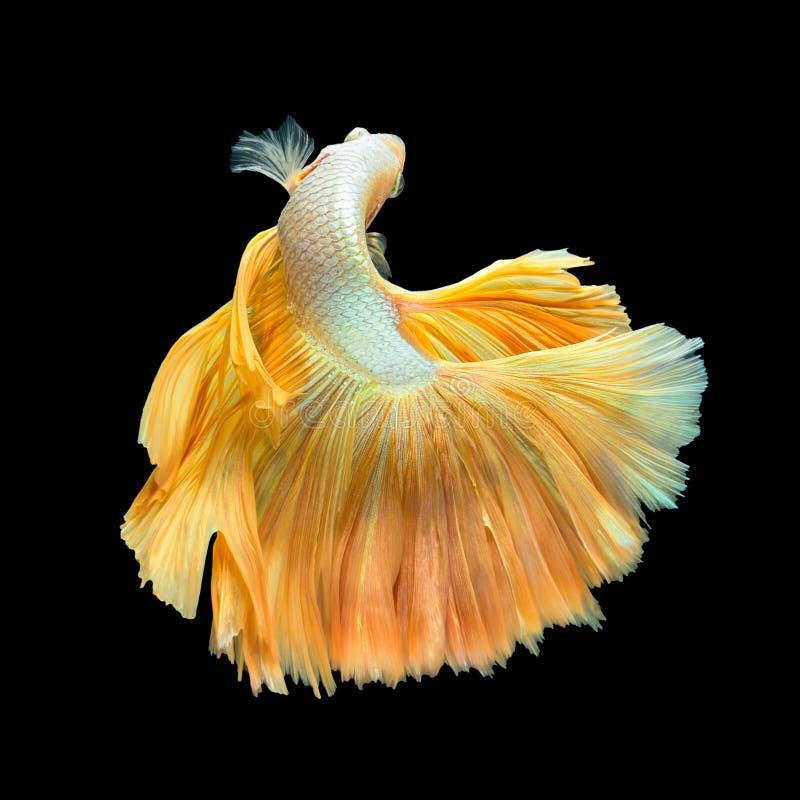 金黄长尾巴半月Betta或暹罗战斗的鱼Swimmin 图库摄影