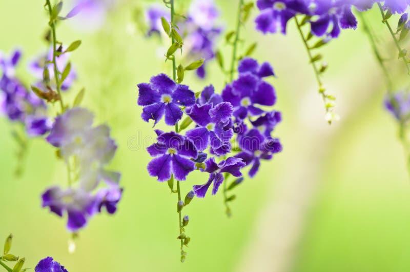 金黄露滴,鸽子莓果,天空花(Duranta erecta) 免版税库存图片