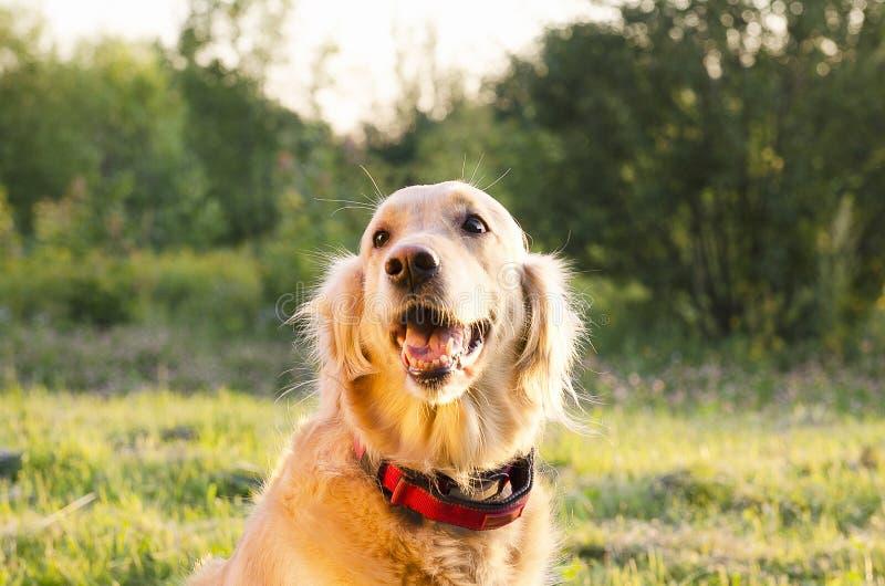 金黄顶头猎犬射击 图库摄影